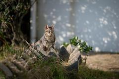 猫 (fumi*23) Tags: ilce7rm3 sony sel85f18 85mm fe85mmf18 emount a7r3 animal katze neko cat chat gato bokeh ねこ 猫 ソニー