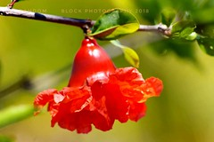 later it will be a pomegranate... (eikeblogg) Tags: macro flores red pentaxphotography naturephotography flowerphotography detail blossom