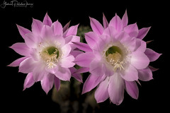 Pink Twins (Gabriel Paladino Photography) Tags: gabrielpaladino canon eos detalle magnoliophyta magnoliopsida caryophyllidae caryophyllales cactoideae trichocereeae beautiful beauty exotic planta echinocactus eyriesii cereus turbinatus turbinata pudantii oxygona raspipallokaktus vanhapoika coleccionista collector echinopsis flor flower collection coleccion cactus cacti suculentas crasas cactaceae cactácea floracion flowers plants blackbackground background blackground 100mm macro 9000d 77d succulent plantae