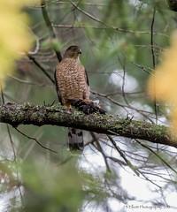 Cooper's Hawk w/ Fresh Kill (elliott845) Tags: coopershawk accipiter accipitercooperii hawk bird birdofprey raptor predator animal nature