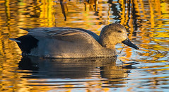 gadwall (1 of 1) (ianrobertcole1971) Tags: duck waterfowl bird gadwall autumn reflection water