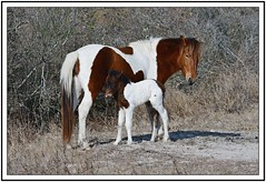 TB7_5043 pony and foal with frame (tbullipoo) Tags: assateague pony foal
