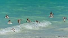 dsc9524-vuelvepiedras-comn-arenaria-interpres-en-la-playa-de-salary-madagascar_38624028062_o (Ramón Muñoz - Fotografía) Tags: madagascar fauna de animales parque nacional reserva playa salary vuelvepiedras común arenaria interpres