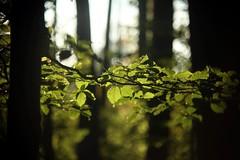 Ijsbos      Kern Paillard Yvar 75mm F 2.8 (情事針寸II) Tags: ngc cmountlens bokeh woods bois vert green feuilles autumn leaves kernpaillardyvar75mmf28