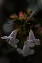 (Eugenio Albertus) Tags: flores abelia planta macro bokeh flowers luznatural pentacon garden nature jardín