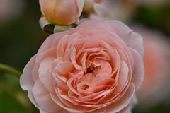 Rose 'Evelyn' raised in UK (naruo0720) Tags: rose englishrose evelyn englishrosescollection bredbydavidaustin austinsrose 薔薇 バラ イギリスのバラ エベリン デビットオースティンのバラ イギリスのバラコレクション sigmalenses nikonscamera nikond810 sigma105mmf28exdgoshsm