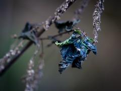 Puff The Magic Dragon (wowafo) Tags: sonyalpha6000 drache dragon blau blue macro makro herbst autumn fall brennnessel natureart nature natur