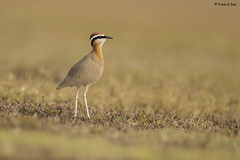# Indian Courser........... (Dr Prem K Dev) Tags: indian india inland incredible courser colourful composition bird beautiful brilliant bokeh bg black brown chestnut wonderful wild woodland white nature ground grass green gorgeous endangered kancheepuram outskirts mamandur tropical tack tall details feathers texture soft