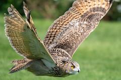 Eagle Owl in Flight (CJH Natural) Tags: lenstagger eurasianeagleowl uhu bubobubo owl bif birdinflight green soar swoop brown camo nature wildlife bird