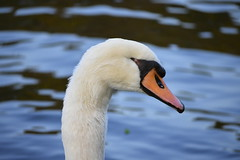 Wear Your Scars With Pride (Robin Shepperson) Tags: swan scar injury bird nature wildlife d3400 nikon water canal berlin germany white black blue red orange park animal being sentient cygnusolor muteswan