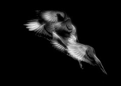 Brainstorming II (jesusgag) Tags: palomas dastäubchen حمامة 家鴿 비둘기 duer savikiekko περιστέρια piccioni ハト duiven gołębie pombas голубок duva vögel دواجن 家禽 새들 aves siipikarja oiseaux πουλιά birds pollame 鳥 gevogelte fjærkre ptaki bw