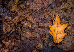 Forest floor.... (Kevin Povenz Thanks for all the views and comments) Tags: 2018 december kevinpovenz westmichigan michigan ottawa ottawacounty ottawacountyparks grandravinesnorth outside outdoors lookdown lookingdown floor forest wet canon7dmarkii sigma24105art yellow orange nature