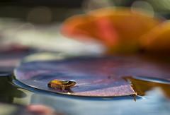 venturing into a colorful world (gnarlydog) Tags: australia frog colorful surreal water reflection closeup detail bokeh fzuiko32mmf17 refittedlens adaptedlens vintagelens manualfocus nature animal leaf pond subjectisolation shallowdepthoffield contextualbokeh orange purple morninglight backlit contrejour transparent