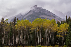 Aspen Trees and Mountains D85_4567.jpg (Mobile Lynn) Tags: landscape tree trees mountain landscapephotography outdoorphotography improvementdistrictno09 alberta canada ca