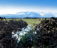 Snowdrops and Arran (g crawford) Tags: crawford ayrshire northayrshire winter snow cold frost arran snowdrops flowers wildflowers portencross portencrossroad westkilbride ice