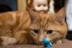 Is that a Penguin ? (Evoljo) Tags: cat penguin ginger doll eyes ears dougal toys tom nikon d500