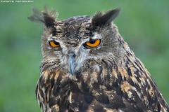 European eagle owl - Falconry Fair (Mandenno photography) Tags: dieren animal animals falconry fair valkerij beurs valkerijbeurs tilburg ngc nature nederland netherlands bird birds birdofprey owl owls european eagleowl europeese oehoe natgeo natgeographic