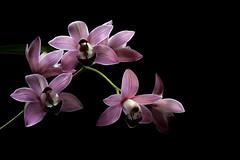 Pink cymbidium (- A N D R E W -) Tags: pink cymbidium dark background black colors orchid orquídea nature flowers blooms spike petals stem buds nikon d7100 sigma 70300mm winter invierno