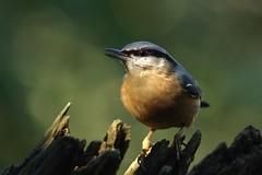 PA278142_hf (alfred.reinartz) Tags: bird vogel kleiber nuthatch sittaeuropaea