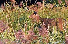 White-tail Deer ♂ – Cerf de Virginie ♂ (D72_9629-1PE-20180913) (Michel Sansfacon) Tags: cerfdevirginie whitetaildeer nikond7200 sigma150600mmsports parcnationaldesîlesdeboucherville parcsquébec faune