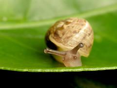 Garden Snail (treegrow) Tags: spain nature lifeonearth raynoxdcr250 mollusca gastropoda helicidae