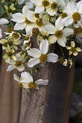 Cosmos (cruzjimnezgmez) Tags: silvestres colorblanco flores cosmos