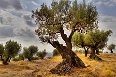 Fonz_El huerto de los olivos 2011 (Txemi Lopez) Tags: fonz huesca aragon campo olivo olivos trees arboles huerto basajauntxo
