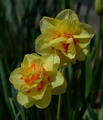 Daffodils (davidwilliamreed) Tags: 2 yellow daffodils blooms blossoms plants nature spring springtime atlantabotanicalgarden atlantaga fultoncounty