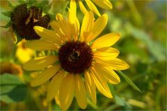sunflower and visitor.......... (atsjebosma) Tags: zonnebloem bloem flower bee bij macro colourful kleurrijk licht zonlicht sunlight atsjebosma tuoro lagotrasimeno italy summer zomer nature natuur 2018 natureinfocusgroup ngc