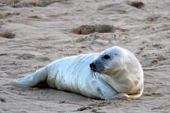 Seal Pup (Jen Buckle) Tags: sanddunes greyseal greysealpup seal sealpup winterton wintertononsea norfolk jenbuckle wwwflickrcompeoplejenbuckle nikond7500 nikon beach sand wildlife mammal nature