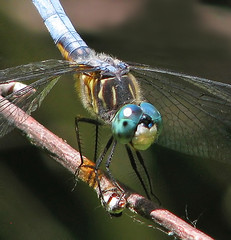 a 2018 Blue Dasher (Vicki's Nature) Tags: bluedasher male dragonfly obelisking vertical upsidedown biello georgia vickisnature canon s5 supermacro 3697 blueeyes paulhueber