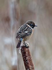 Stonechat (martin_swatton) Tags: stonechat bird wildlife titchfieldhaven hillhead olympus omd em1 mkii mzuiko 300 f4 pro handheld uk england bullrush