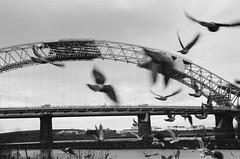 Jubilee Birds (PaulEBennett) Tags: runcorn film mono blackandwhite canoneos500 silverjubileebridge birds
