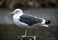 Pigeons Beware! (Eleanor (No multiple invites please)) Tags: gull lesserblackbackedgull post hydepark london nikond7200 january2019
