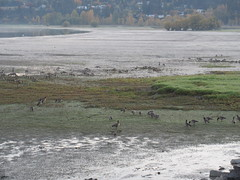 Shuswap Morning (jamica1) Tags: shuswap lake salmon arm bc british columbia canada geese
