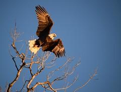 the departure (David Sebben) Tags: bald eagle nature bird raptor mississippi river wings