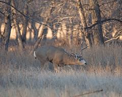 Mule Deer-15 (trdunn) Tags: muledeer colorado weldcounty wildlife animal easternplains nature buck atypical fall antlers trees
