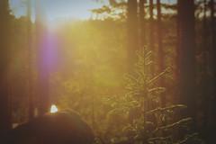 Sunset forest (Klas-Herman Lundgren) Tags: dalarna sweden gimmen autumn höst forest trees skog october red leaves colors ground skogsmark tjärn porstjärn pond myrmark sunset sun light solnedgång pine gran sifferbo se