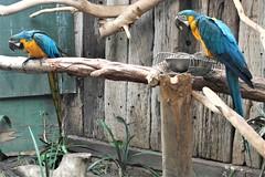 _SAM2783 (maddoctorartist) Tags: birds worldofbirds southafrica houtbay jackasspenguin goldenpheasant oriole starling peacock peahen ducks ibis himalayanmonal parrot macaw pigeons