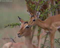 Impala ewe and offspring (leendert3) Tags: leonmolenaar southafrica krugernationalpark wildlife nature mammals impalaantelope ngc coth5