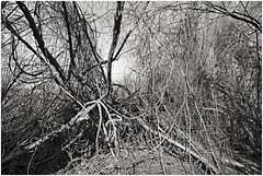 im korkus 282 (beauty of all things) Tags: eschweiler wald forest imkorkus wirrwarr tangle entropy dschungel jungle bw sw gestrypp gestrüpp scrub