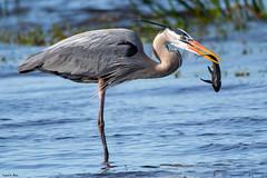 Done Deal (Digital Rebels) Tags: greatblueheron myakkastatepark bird fish fishing hunt eat florida river bill water feeding survival