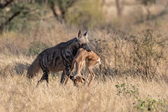 Striped Hyena with lunch (Hector16) Tags: africa matthewsmountains kenya samburuculture samburunationalpark sarara samburu easternprovince ke hyaenahyaena predator ngc npc