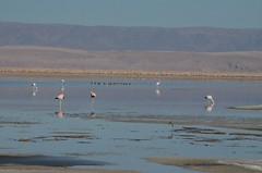2017-11-09_0737_DSC_0704 (becklectic) Tags: 2017 atacamadesert atacamasaltflat birds chile flamingoes lagunachaxa lake piedrasrojastour regióndeantofagasta reservanacionallosflamencos salardeatacama sanpedrodeatacama flamingo flamingos