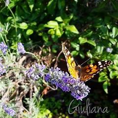 Butterfly (° Giuliana *) Tags: butterfly farfalla natura nature animal animali animale green verde giallo yello lilla fiori fiore flower flowers love toch ohotograohy foto fotografia beauty november novembre