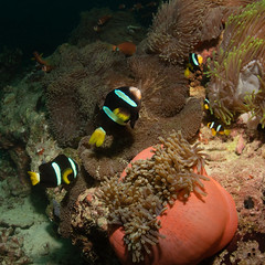 Anemone Fish (moments in nature by Antje Schultner) Tags: anemonenfisch anemone fish amphiprion clarkii malediven maldives diving tauchen