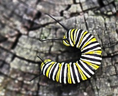 Nature's Liquorice Allsorts (WinRuWorld) Tags: caterpillar monarchcaterpillar stripes pattern markings danausplexippus nymphalidae butterflylarva lepidoptera pa pennsylvania northamerica insect invertebrate fauna dof depthoffield commontigerlarva bassettsliquoriceallsorts vibrant