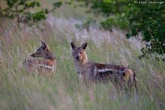 Side-striped Jackal pair (leendert3) Tags: leonmolenaar southafrica krugernationalpark wildlife nature mammals sidestripedjackal ngc npc naturethroughthelens