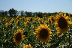 img_3985_16302581362_o (drietwin) Tags: 2012 clugnat frankrijk vakantie2012 zonnebloemen