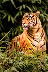 Tiger Looking 3-0 F LR 9-16-18 J161 (sunspotimages) Tags: animal animals wildlife nature tiger tigers zoo zoos nationalzoo fonz fonz2018 cat cats bigcat bigcats